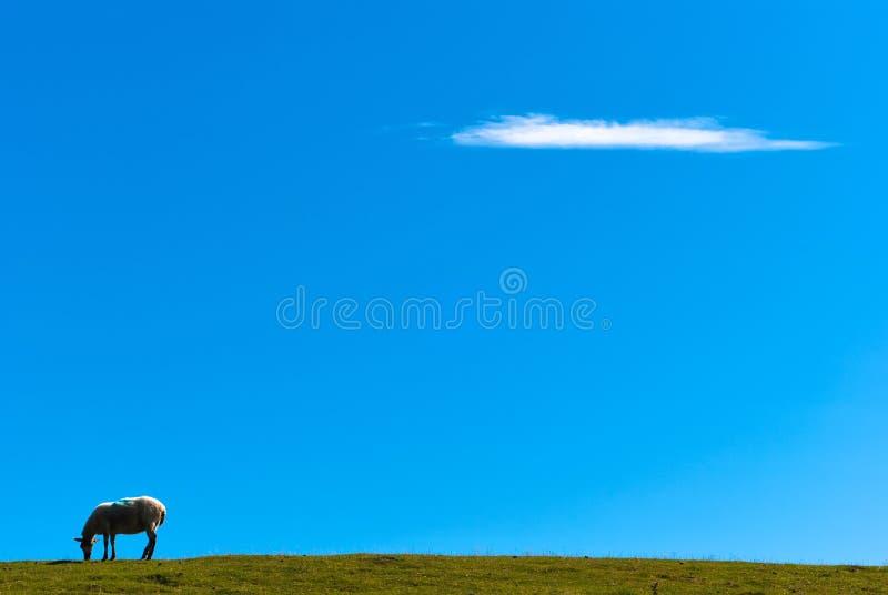 Pecore su erba contro un cielo blu V2 fotografia stock libera da diritti