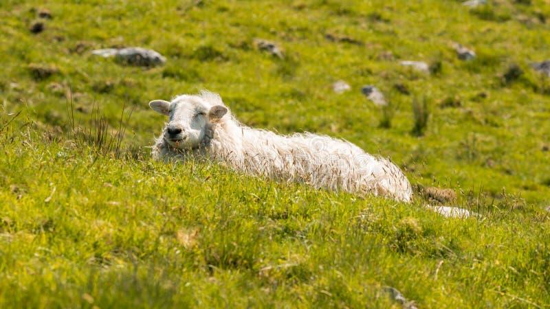 Pecore su un prato fotografie stock libere da diritti