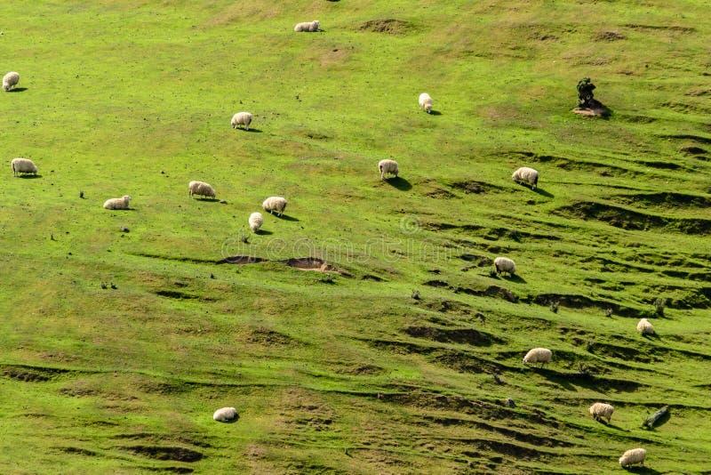 Pecore su una collina in Nuova Zelanda immagini stock