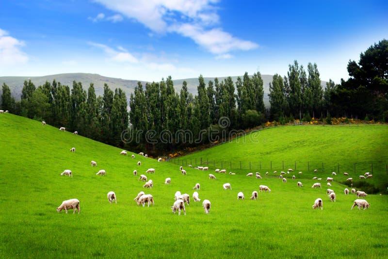 Pecore sul prato fotografie stock