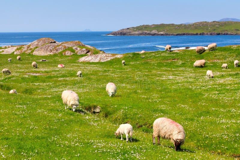 Pecore sull'anello dei campi di erba di Kerry fotografie stock