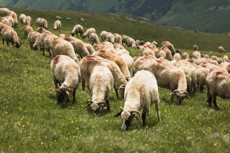 Download Pecore sulla montagna immagine stock. Immagine di nazionale - 56878207