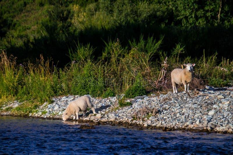 Pecore sulla riva rocciosa dell'isola fotografia stock libera da diritti