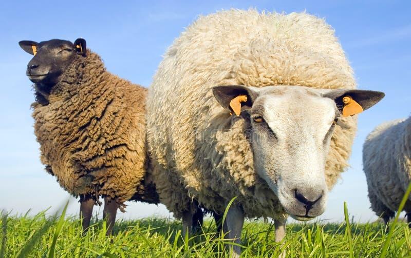Pecore sullo sguardo dell'erba fotografie stock libere da diritti