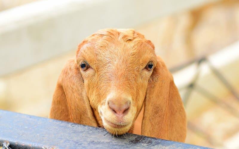 Pecore sveglie fotografia stock