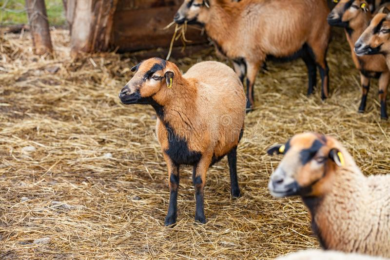 Pecore sveglie del Camerun nella foresta Germania fotografia stock libera da diritti