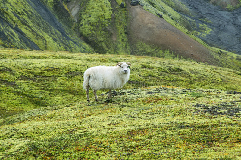 Pecore sveglie in Landmannalaugar fotografie stock libere da diritti