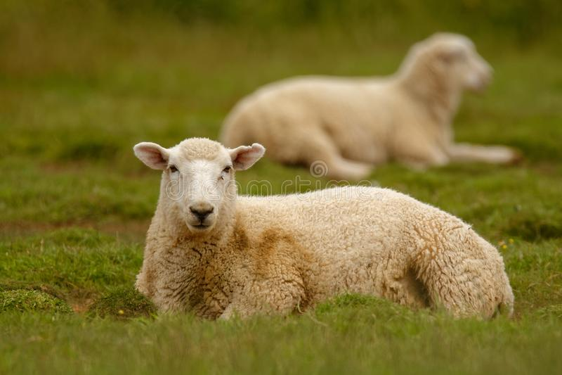 Pecore, terreno coltivabile Nuova Zelanda, Scozia, Australia, Norvegia, azienda agricola di agricoltura fotografia stock