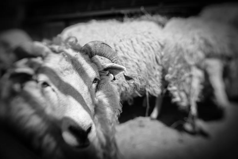 Pecore in un granaio fotografia stock