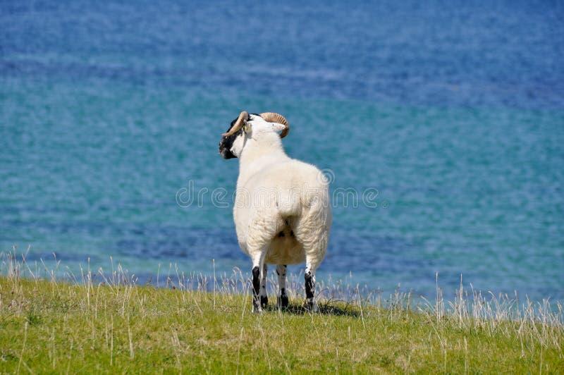 Pecore vicino al mare, baia di Mannin (Irlanda) fotografie stock