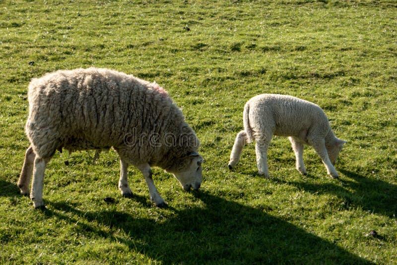 Pecore in Westerhever, Germania fotografia stock