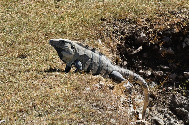 Pectinata coupé la queue épineux mexicain de Ctenosaura d'iguane photos libres de droits