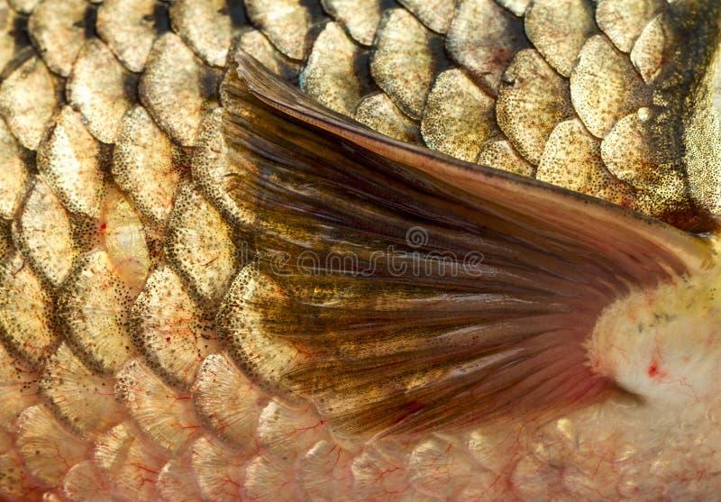 Pectoral fin. Of golden carp.Close-up, macro royalty free stock image