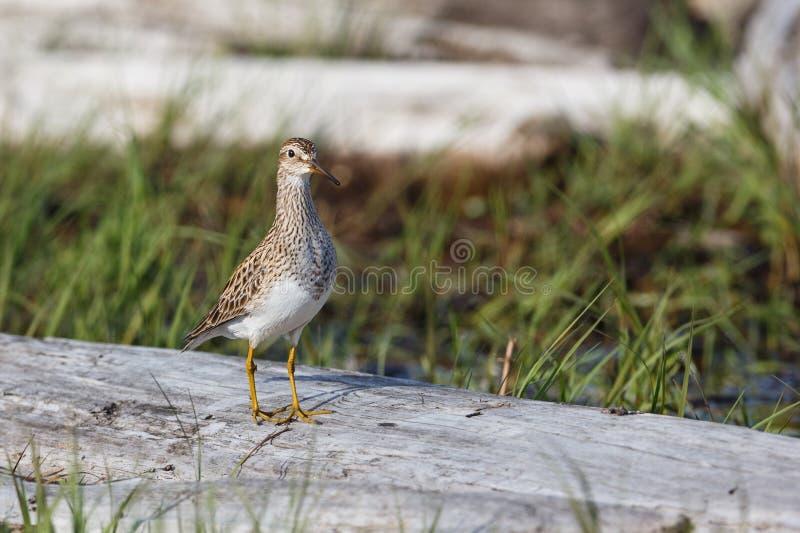 Pectoral Sandpiper bird. At  Richmond BC Canada stock photos