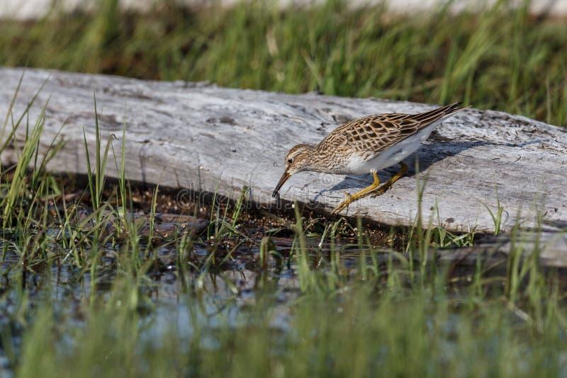 Pectoral Sandpiper bird. At  Richmond BC Canada royalty free stock photo