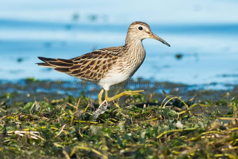 Pectoral Sandpiper. Foraging in the algae royalty free stock photography