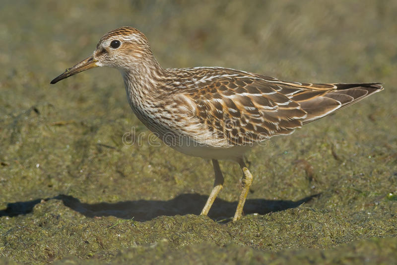 Pectoral Sandpiper. Foraging on the slimy beach royalty free stock photography