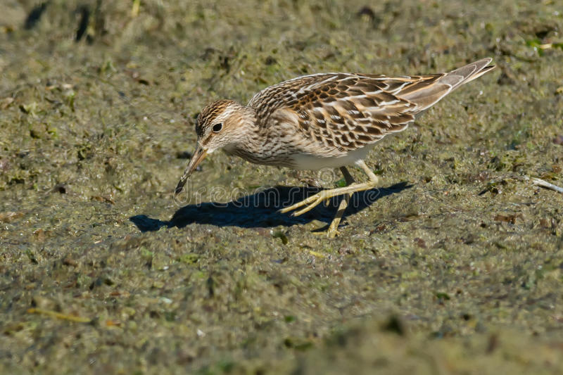 Pectoral Sandpiper. Foraging on the slimy beach stock photos