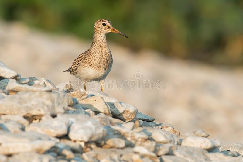 Pectoral Sandpiper. Standing on a gravel slope stock photo