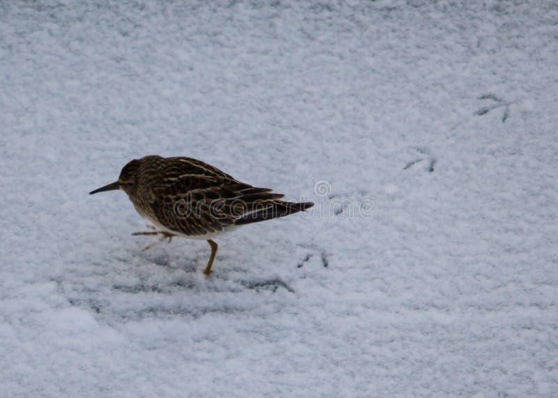Pectoral sandpiper. On snow stock photo