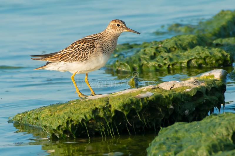 Pectoral Sandpiper. Standing on a slimy rock at the edge of the water royalty free stock photo