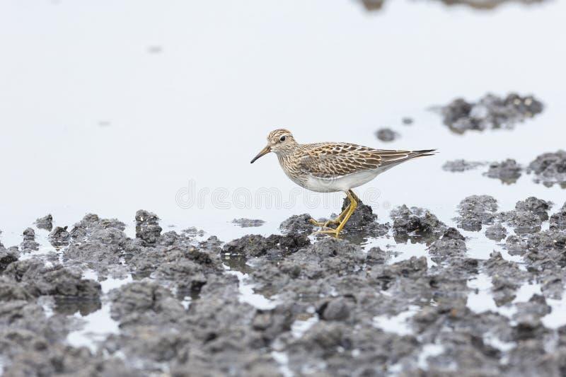 Pectoral Sandpiper bird. Pectoral Sandpiper at Vancouver wet land , BC Canada stock images