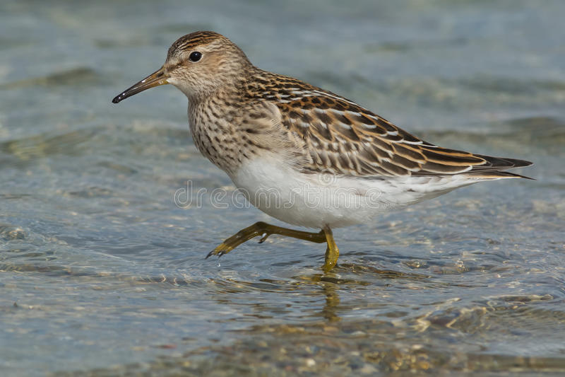 Pectoral Sandpiper. Wading in the shallow water royalty free stock photo