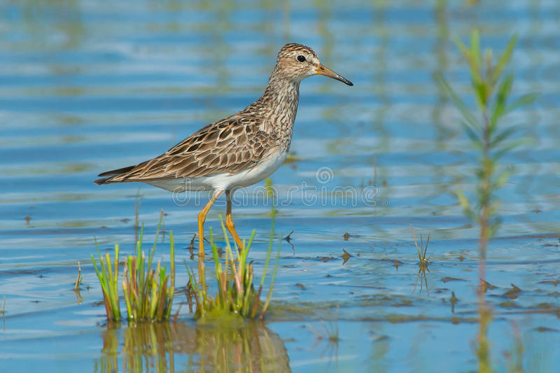 Pectoral Sandpiper. Wading in the shallow water royalty free stock photography
