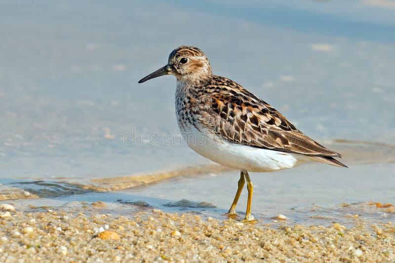 Pectoral Sandpiper. Walking along shoreline stock photo