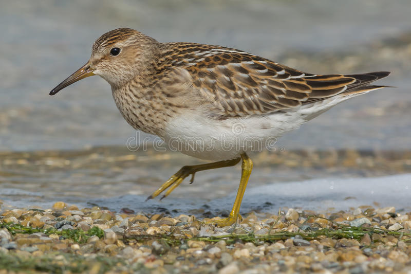 Pectoral Sandpiper. Walking on a gravel beach royalty free stock images