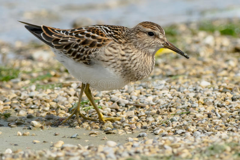 Pectoral Sandpiper. Walking on a gravel beach stock photography
