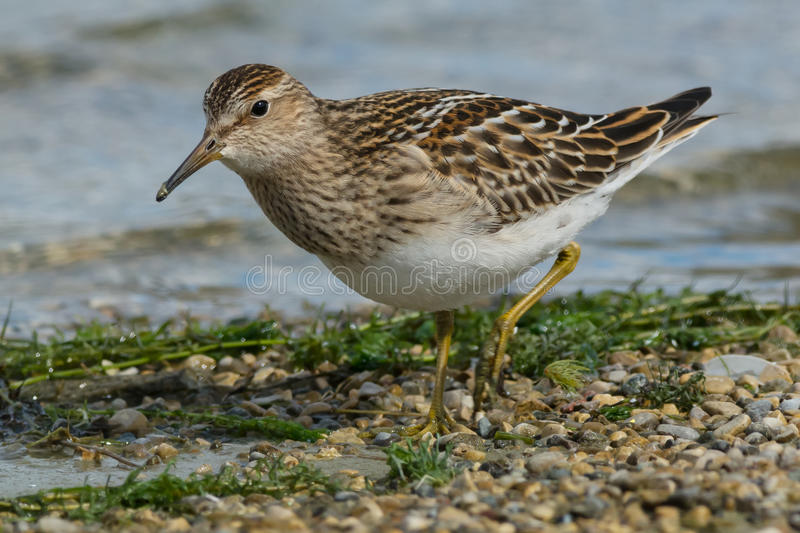 Pectoral Sandpiper. Walking on a gravel beach royalty free stock image