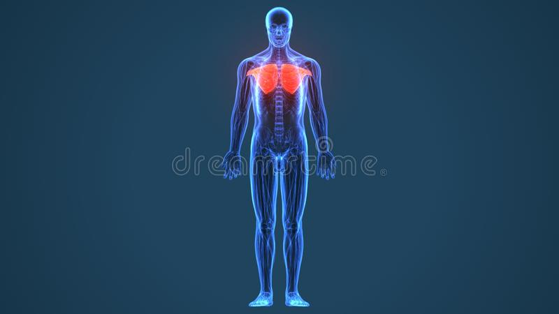 3D illustration of Pectoralis Major, Part of Muscle Anatomy. royalty free illustration