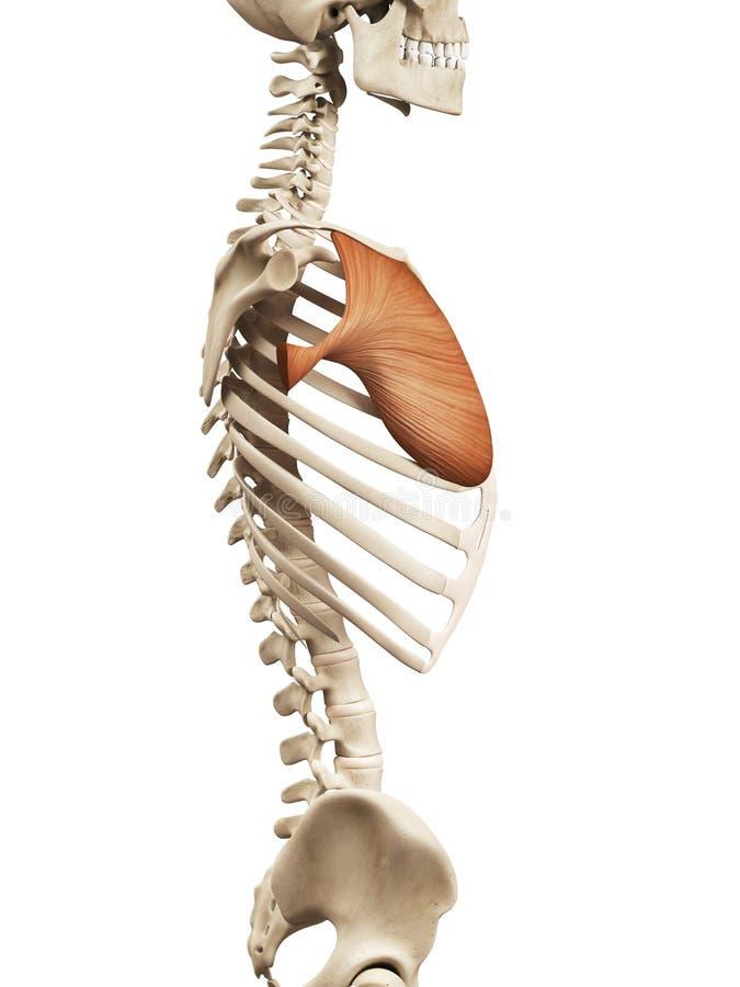 The pectoralis major stock illustration. Illustration of physiology ...