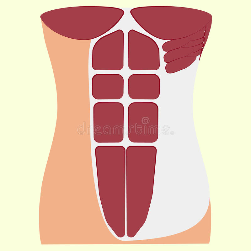 Pectoralis major muscle, muscles of chest, vector illustration