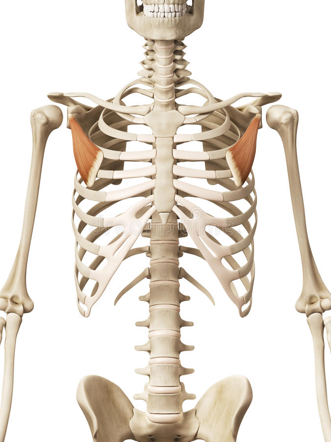 The pectoralis minor royalty free illustration