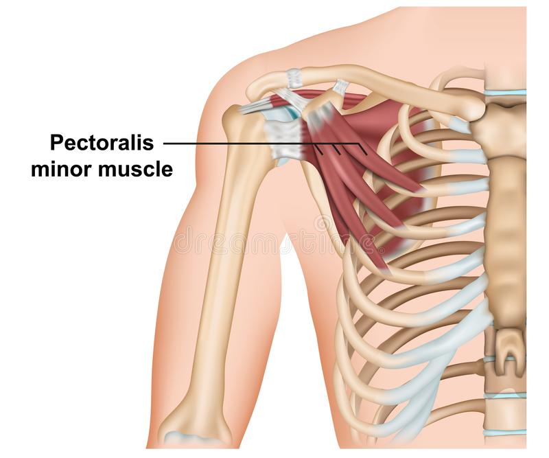 Pectoralisminderj?hrig-Muskelanatomie, medizinische Illustration des Vektors 3d auf wei?em Hintergrund stock abbildung