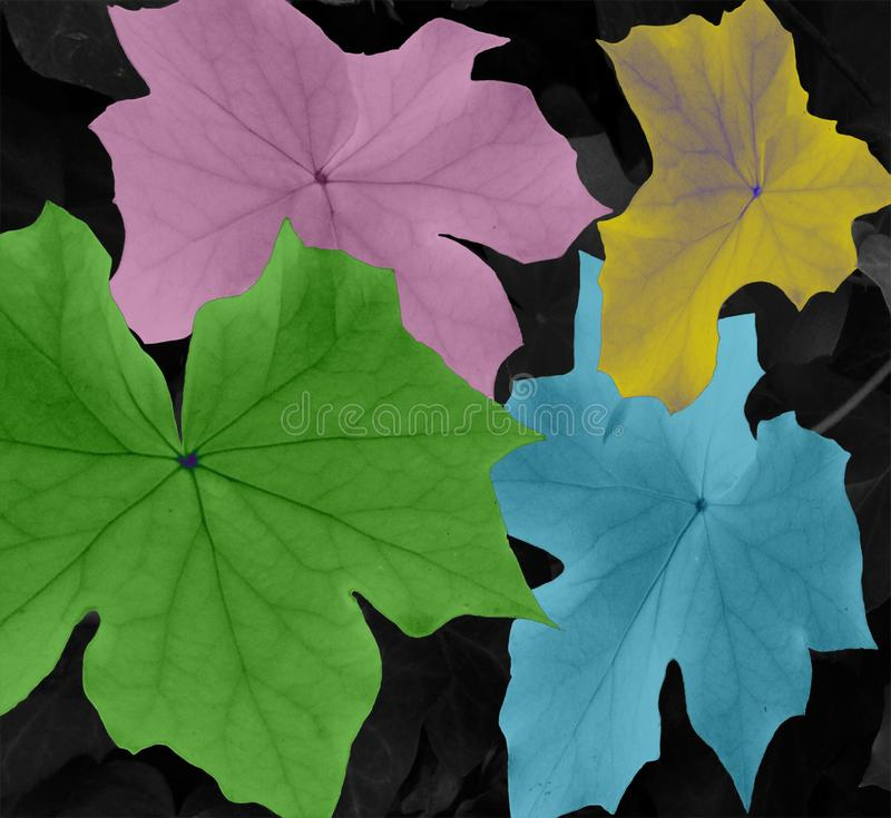 Peculiar leaves in particular colors. Shot in black and white  and painted in colors detail on the facade of this historic building representing some character stock photography
