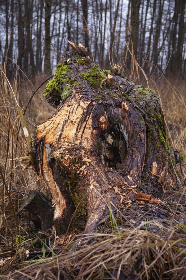 Pedaço de árvore cortado por castores, feche fotografia de stock