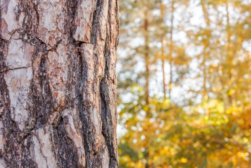 Pedaço de tronco de pinheiro sobre fundo de uma floresta de outono amarela desfocada foto de stock royalty free