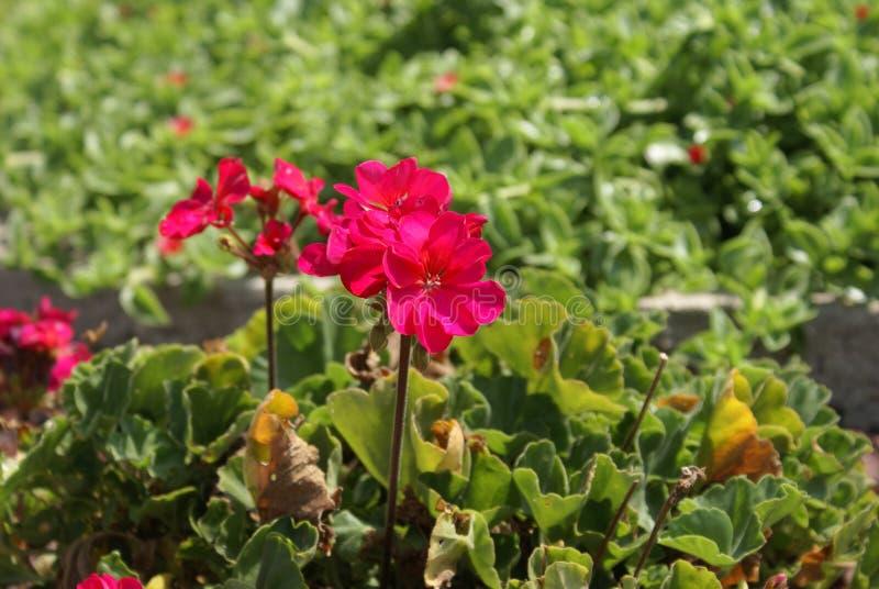 Pedali rosa immagine stock