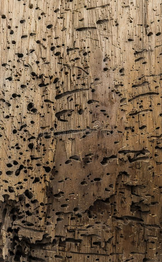 Pedazo de madera atacado por los gusanos foto de archivo