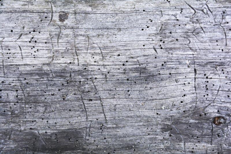 Pedazo de madera atacado por los gusanos Textura de la madera putrefacta vieja comida por el gusano Fondo de madera de la textura imagen de archivo