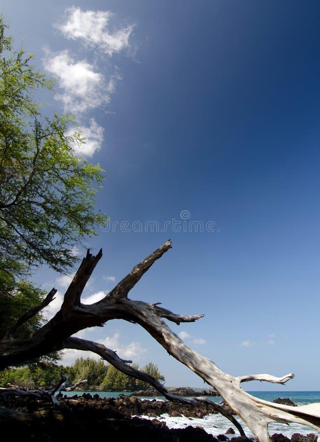Pedazo masivo de tronco de madera seco blanco en la playa 69, Waialea, isla grande imagenes de archivo