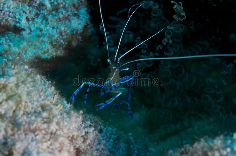 Pederson Cleaning Shrimp. In his hole with Corkscrew Anenome royalty free stock images