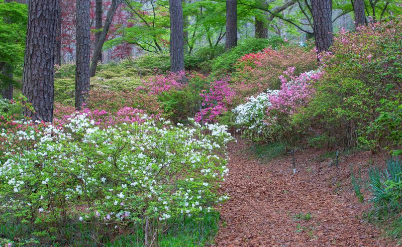 Footpath Callaway Gardens Pine Mountain Georgia. Pedestrian path along a hillside of spring blooming azaleas in Callaway Garden, a tourist attraction located in royalty free stock image