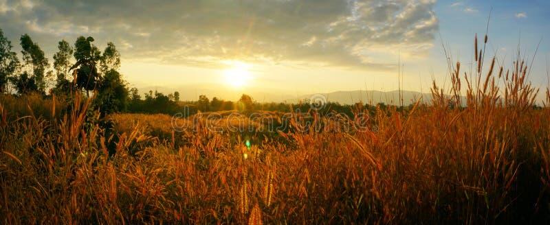 Pedicellatum de Pennisetum d'herbe de Desho au temps de coucher du soleil Belle fleur d'herbe backgr floral de fleur d'herbe de f photographie stock libre de droits