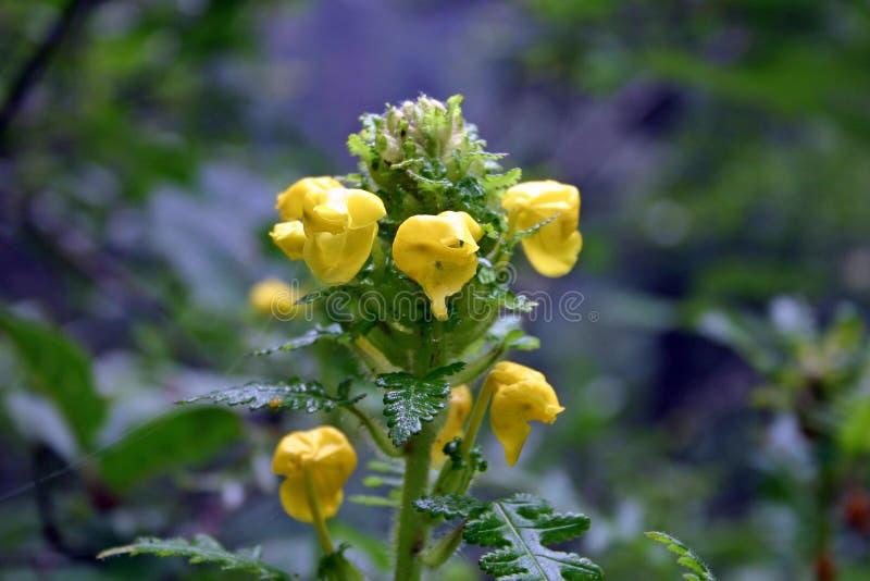 Pedicularis Hoffmeisteri in Vallei van Bloemen, Uttarkhand, India royalty-vrije stock fotografie