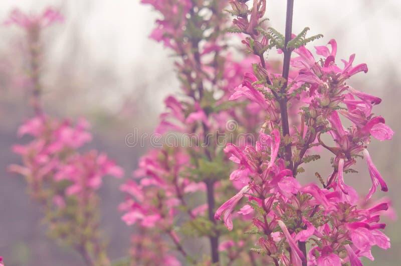 Pedicularis siamensis Tsoong 免版税图库摄影