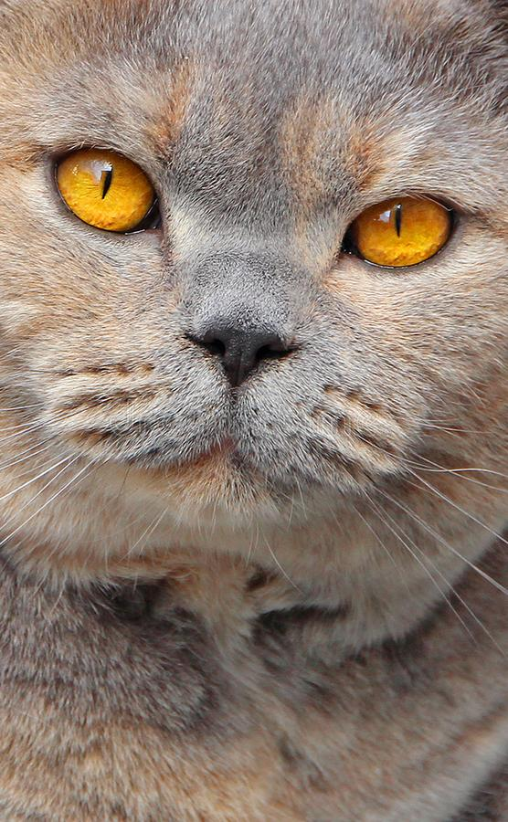 Pedigree cat eyes. Photo of beautiful orange eyes belonging to a pedigree british shorthair cat ideal for mobile phone screen saver etc